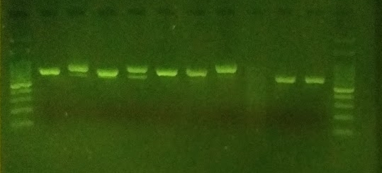 PCR amplicons of the ITS barcode region produced from sampled fungi.
