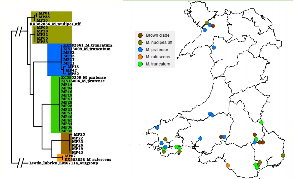 DNA-barcode based mapping of green and brown earthtongues (Microglossum spp.) in Wales.
